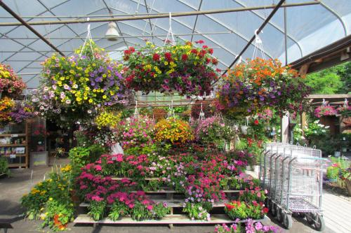 Greenhouse Hanging Baskets Flowers